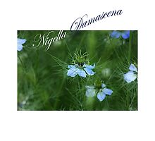Nigella Damascena *1* by SmoothBreeze7