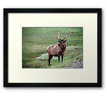 Bull Elk in Yellowstone Framed Print