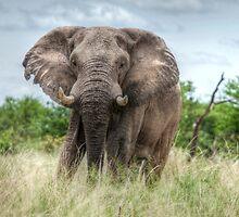 Elephant Bull by Dori  Moreno