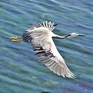 White-faced Heron in flight by Ian Berry