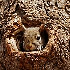 Grey Squirrel in a Hole by AriasPhotos