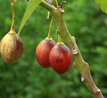 Tree Tomatoes by rhamm