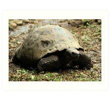 Giant Tortoise Art Print