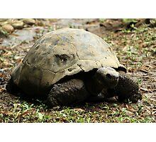 Giant Tortoise Photographic Print