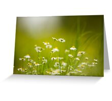 common chamomile (Anthemis cotula) Greeting Card