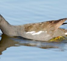 Common Moorhen (Gallinula chloropus) swims in a pond.  Sticker