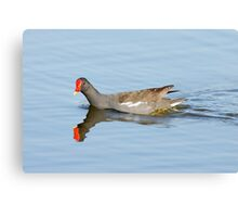 Common Moorhen (Gallinula chloropus) swims in a pond.  Canvas Print