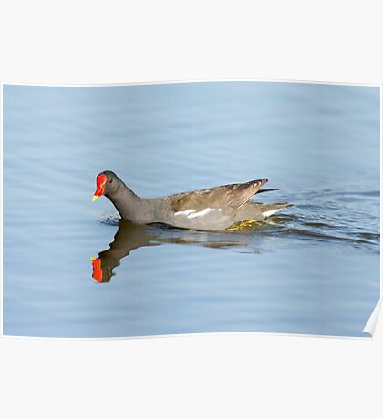 Common Moorhen (Gallinula chloropus) swims in a pond.  Poster