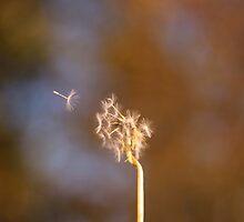 Dandelion by NaomiGrace