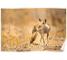 Red Fox (Vulpes vulpes) in the wild Poster