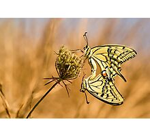 Two mating Southern swallowtail (Papilio alexanor) butterflies Photographic Print