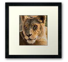 530 lioness Framed Print