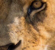 530 lioness Sticker