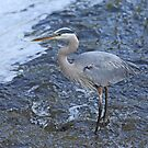 Heron - Great Blue by Lynda   McDonald