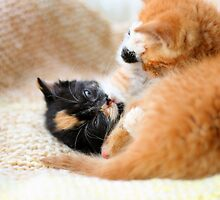 Play fighting kittens by GreyFeatherPhot