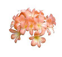 Peach Coloured Lilium Flowers Photographic Print