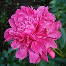 Hot Pink Peony by charmedy