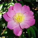 Bowl of Peony by charmedy