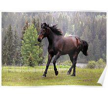 Percheron Thoroughbred Horse on the run. Poster