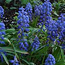 Hyacinth Bunch by charmedy