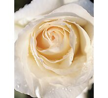 Yellow rose close-up Photographic Print