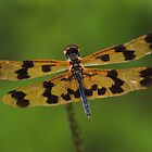 Graphic Flutterer Dragon Fly (Rhyothemis graphiptera )  - Lake Mitchell - Atherton TL  by john  Lenagan
