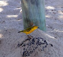 Yellow Warbler In The Galapagos by Al Bourassa