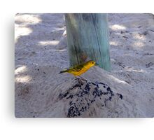 Yellow Warbler In The Galapagos Canvas Print