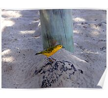 Yellow Warbler In The Galapagos Poster