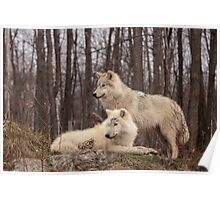 The Arctic Wolf Pair in fall Poster
