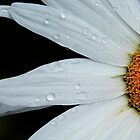 Daisy rising by Sue Morgan