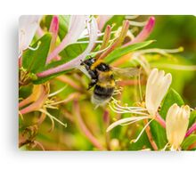 Bumble bee on honeysuckle Canvas Print