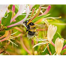 Bumble bee on honeysuckle Photographic Print