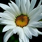 Springtime Daisy by Sue Morgan