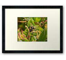 Bumble bee on honeysuckle again Framed Print