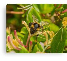 Bumble bee on honeysuckle again Canvas Print