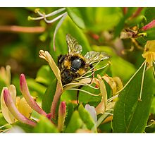 Bumble bee on honeysuckle again Photographic Print