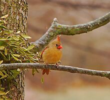 Lady Cardinal by mcstory