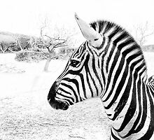 Zebra Close-up by Dyle Warren