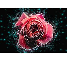 Pink English rose as seen from above  Photographic Print