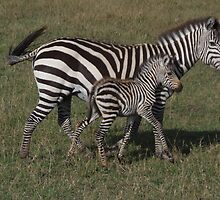 Mother & Baby Zebra by KACPhotos