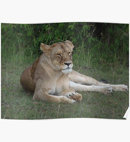 Lioness relaxing on the Masai Mara Poster