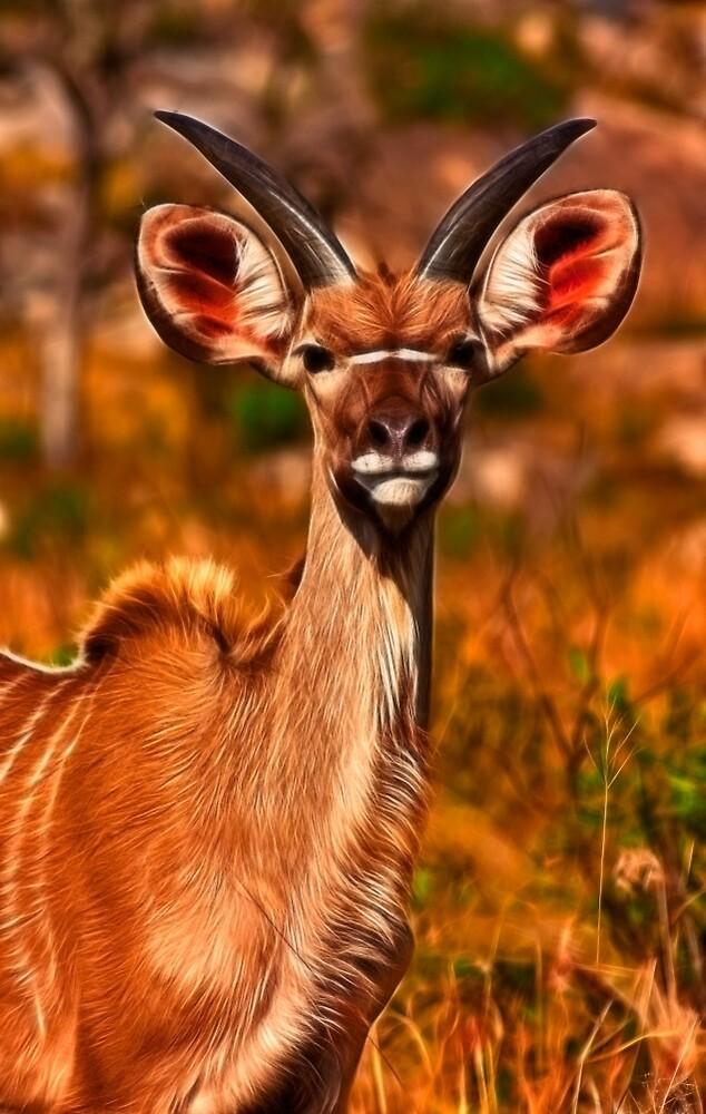 Young Kruger Kudu by Nicolas Raymond