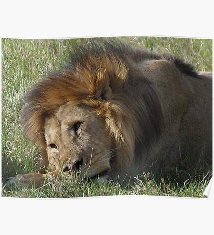 Lion lounging after dinner Poster