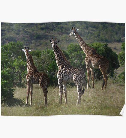 Masai Giraffe Herd Poster