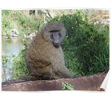 Baboon at Lake Nakuru Poster