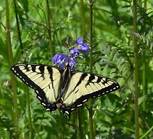 Female Eastern Tiger Swallowtail Butterfly by Martha Medford