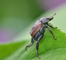 Welsh Chafer by relayer51