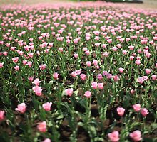 Infinite field of pink tulips by mrivserg