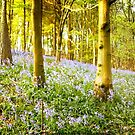 Bluebells of the Clent Hills, UK. by Maybrick